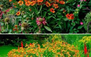 Гелениум: яркий многолетник для цветника.