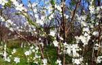 Опрыскивание сада весной эффективный способ избавления растений от болезней и вредителей