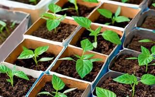Чем подкормить рассаду перцев и когда именно это лучше делать