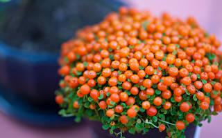 Нертера — коралловый мох