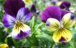 Анютины глазки — замечательные цветы!