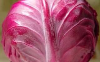 Особенности выращивания краснокочанной капусты