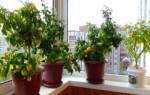 Как вырастить балконные помидоры&