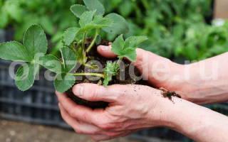 Как правильно посадить клубнику — 4 способа посадки.