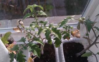 Если у рассады томатов засыхают кончики листьев