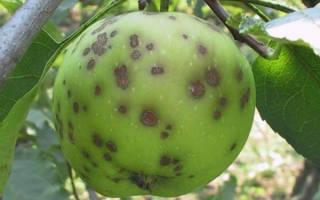 Что такое яблоневая парша, как с ней бороться и какие сорта ее не боятся