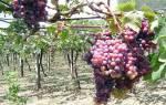 Обламывание побегов винограда