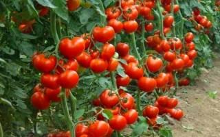 Три способа повысить урожайность помидоров