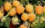 Малина Желтый гигант: описание крупноплодного сорта с янтарными ягодами.