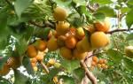 Нвероятно вкусный абрикос сорта Лель сочная сладость макушки лета.