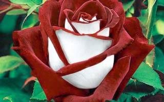 Двухцветная роза Осирия (Osiria)