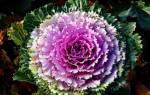 Цветная капуста-член семейства крестоцветных, Brassica coleracea