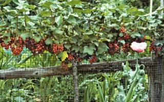 Как вырастить саженцы любимых сортов смородины и крыжовника