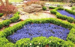 Живучка (аюга) выносливое и неприхотливое почвопокровное растение.