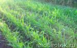 Сидераты для сада и огорода