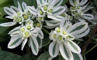 Выращивание на даче цветка «Богатая невеста»