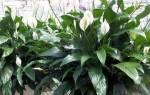 Спатифиллум. Цветок Женское счастье