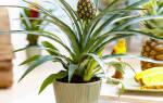 Как же вырастить ананас дома