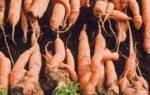 Почему растет уродливая морковь