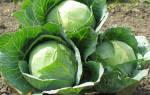 Почему трескается капуста, и как этого избежать