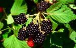 Ежевика — одна из самых урожайных ягод.