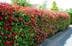 Растения для живой изгороди в саду
