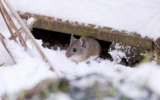 5 способов защитить сад от грызунов зимой.