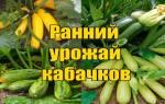 Получение раннего урожая кабачков.