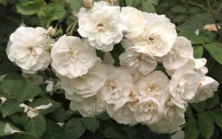 Здравствуйте, сейчас пробую укоренить черенки от красной розы(от своей, не покупной