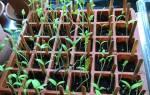 Вытягивается рассада томатов