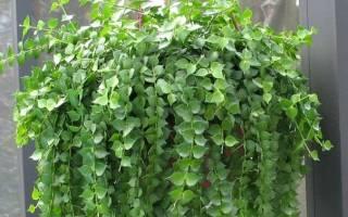 Дисхидия гребневидная или гребешковая (Dischidia pectinoides) декоративное растение, которое принадлежит к семейству Ластовневых. Родиной дисхидии являются Филиппины.