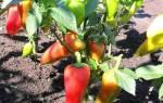 Правильная подкормка перцев органическими и минеральными удобрениями.