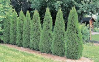 Как выращивать туи, чтобы их красотой смог гордиться Ваш сад