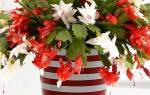 Декабрист в томительном ожидании цветения