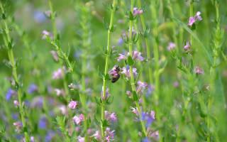Лечебные свойства травы иссоп