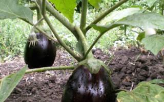 Баклажаны любят влагу, особенно в период образования плодов