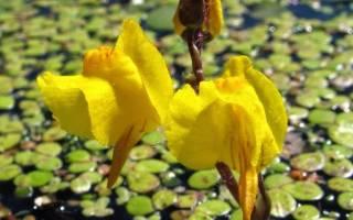 Пузырчатка — хищное растение для водоемов