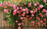 Направление роста плетистых роз.