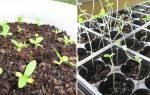 Выращивание циннии: от семян до посадки в открытый грунт