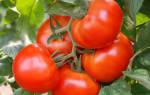 Оригинальный способ выращивания томатов на сухарях