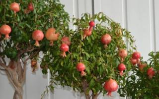 Экзотическое растение на подоконнике: как вырастить гранат из косточки.