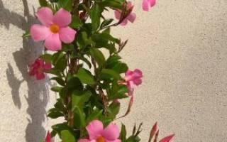 Изящная ветвящаяся лиана — дипладения