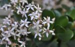 Как помочь комнатному цветку? Почему не растет Денежное Дерево?