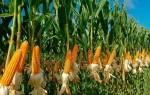 Самая красивая кукуруза, которую я когда-либо видела