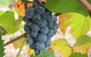 Виноград амурский — достойная альтернатива для средней полосы