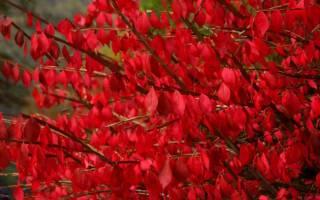 Роскошный осенний бересклет восхищает своим красочным нарядом