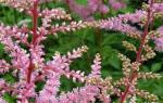 Высокая пушистая астильба, высаженная вдоль садовых дорожек, смотрится эффектно и оригинально