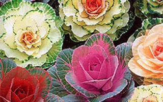 СОВЕТЫ ПО ВЫРАЩИВАНИЮ ДЕКОРАТИВНОЙ КАПУСТЫ Декоративная капуста Если вы никогда не слышали о декоративной капусте, то, увидев фото этой культуры, можете подумать, что это одни из самых красивых цветов, ничем не уступающие королеве цветов розе