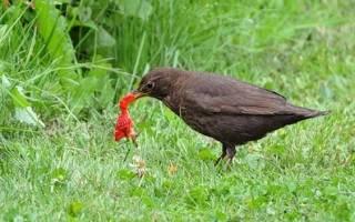 Как защитить клубнику от птиц: 3 эффективных народных метода.