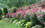 Что посадить вдоль забора: советы опытных садоводов.